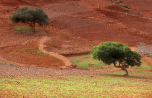 Argan trees in the Moroccan desert